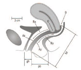Устройство и назначение органов вагины
