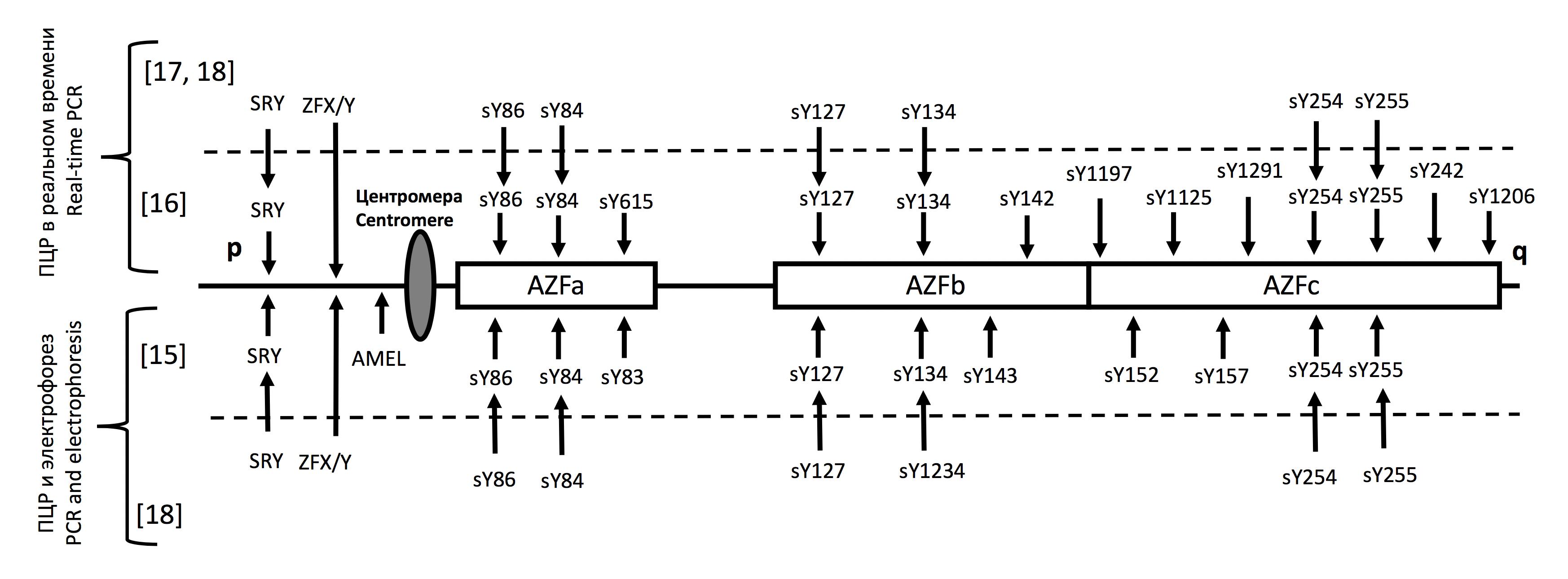 Расположение STS-маркеров в области AZF и контрольных локусов в различных тест-системах для определения микроделеций Y-хромосомы