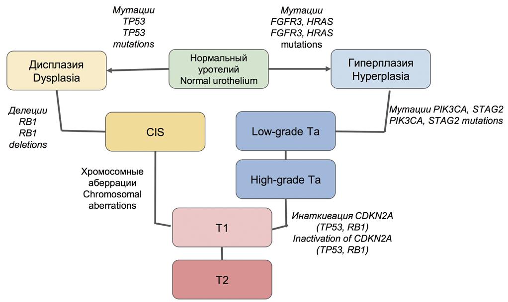 Молекулярный патогенез рака мочевого пузыря