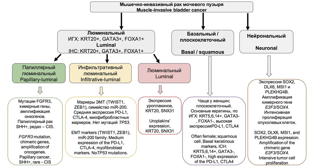 Молекулярные подтипы мышечно-инвазивного рака мочевого пузыря
