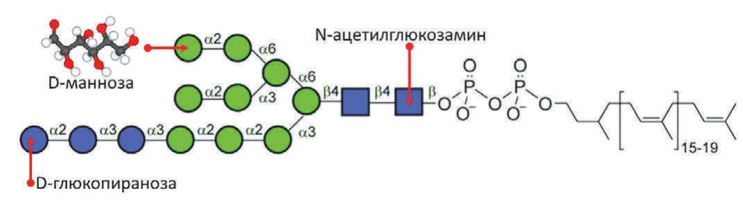 Рис. 2.Перенос олигосахаридного блока «Glc3Man9GlcNAc2» – основная реакция N-гликозилирования белков