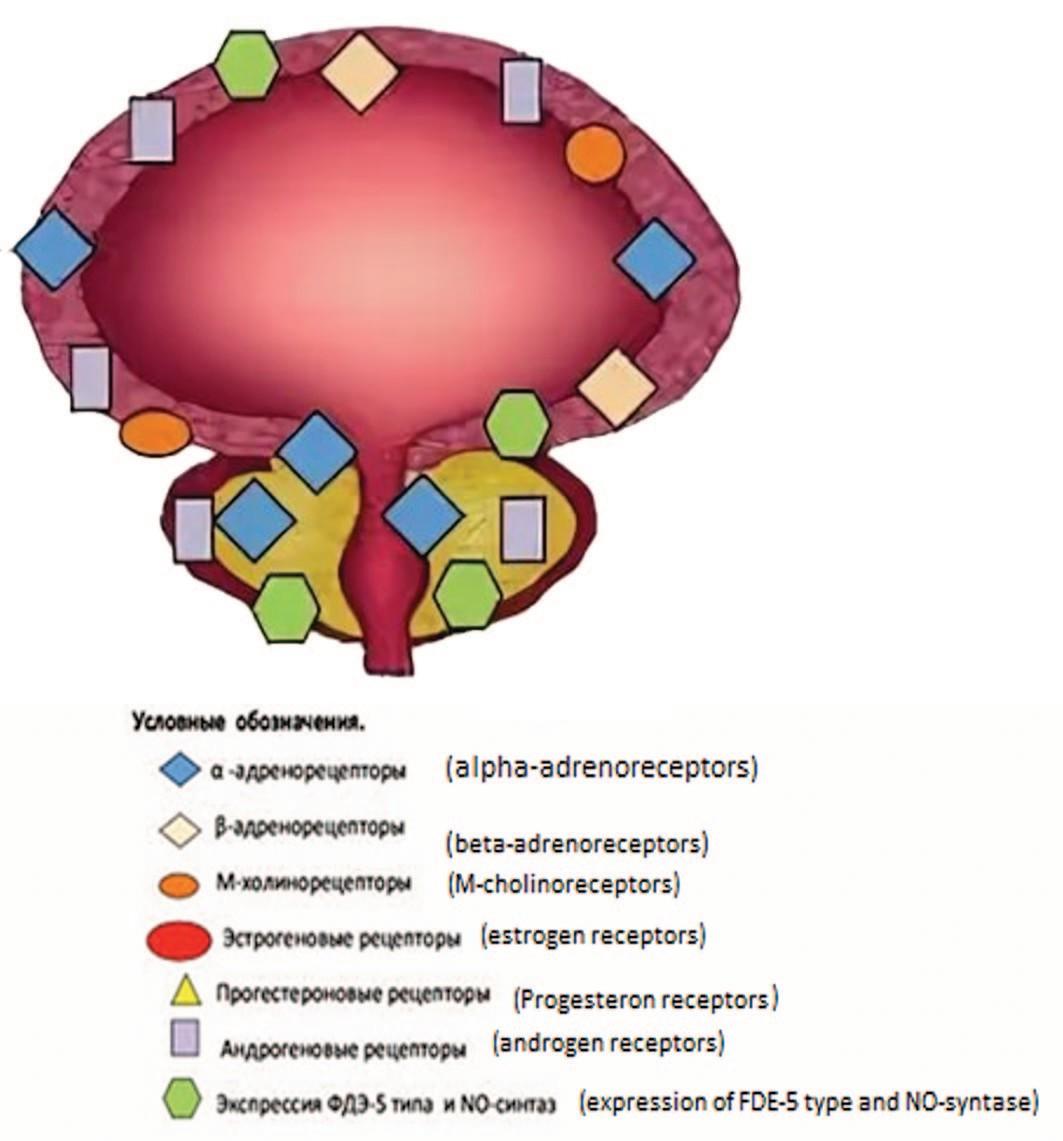Схема распределения различных типов рецепторов в мочевом пузыре и предстательной железе