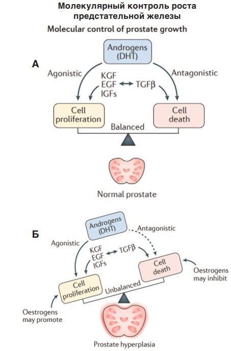 Молекулярный контроль роста предстательной железы. А: вверху – Андрогены (ДГТ), слева стрелка – агонисты, справа стрелка – антагонисты; слева прямоугольник – Клеточная пролиферация, справа прямоугольник – Смерть клетки; середина – баланс; внизу – ПЖ в норме. Б: то же самое, кроме: слева от прямоугольника – эстрогены могут активировать, справа от прямоугольника – эстрогены могут ингибировать; посередине – дисбаланс; внизу ДГПЖ [13].
