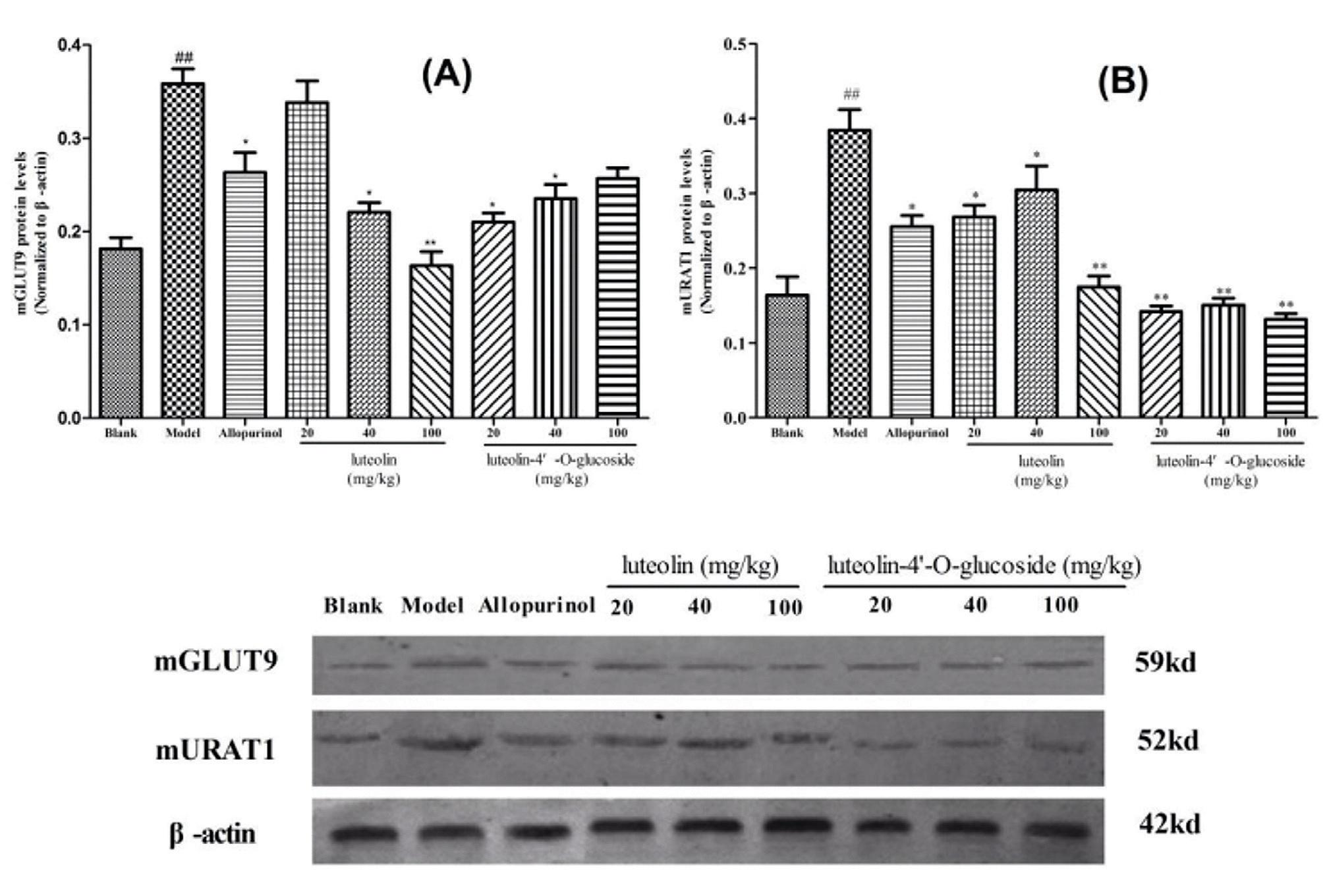 Эффекты Лютеолина и Лютеолин-4-О-гликозида и аллопуринола на экспрессию белков mGLUT9 (A) и mURAT1 (B) в почечной ткани у мышей с гиперурикемией