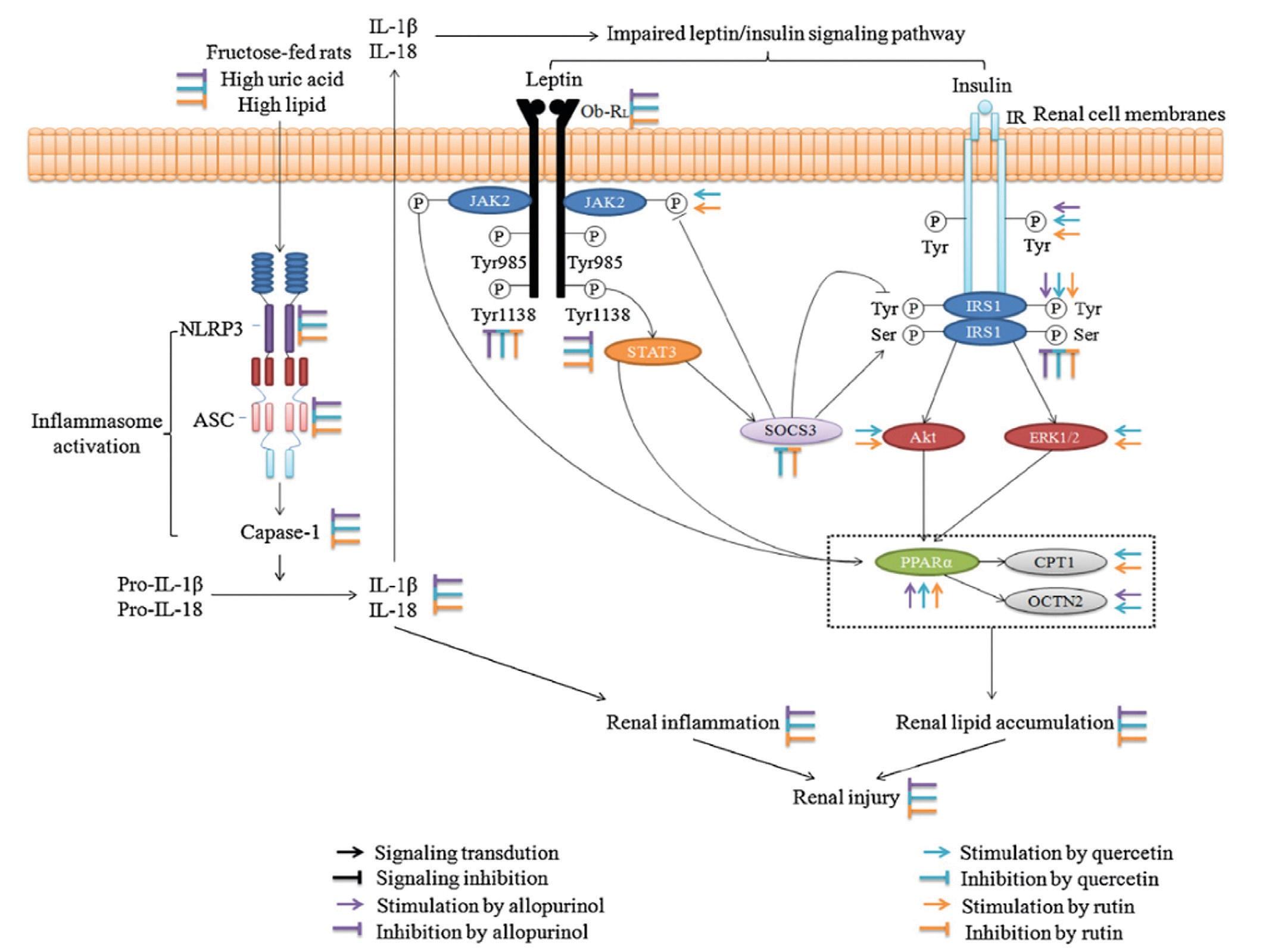 Схематическое изображение механизма, с помощью которого аллопуринол и кверцетин предотвращают почечное воспаление и накопление липидов у лиц, получавших фруктозу. Взято из J. Huang et al. 2012 [33]