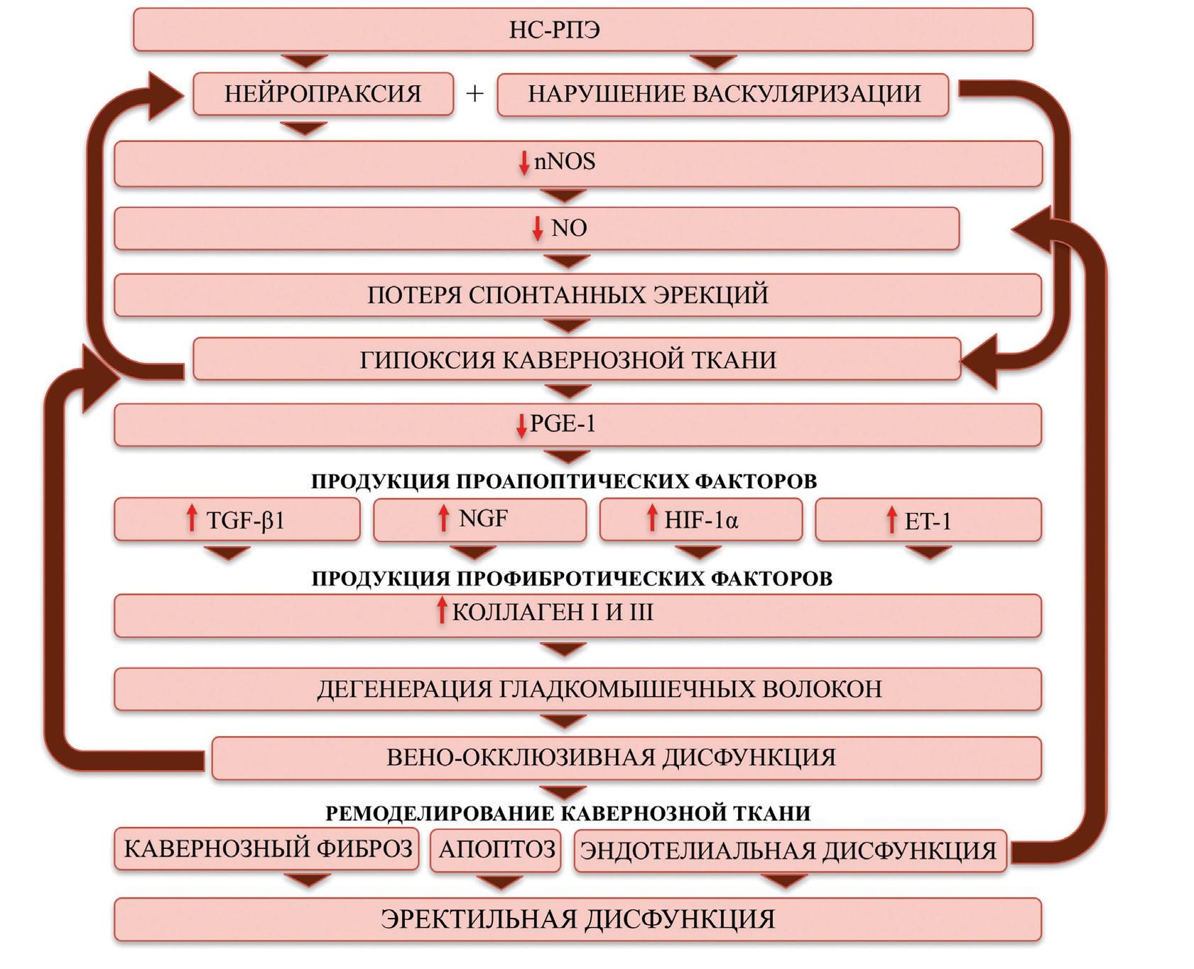 Патогенез эректильной дисфункции после радикальной простатэктомии
